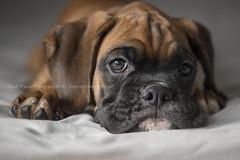 Drunk on love (dog ma) Tags: faith dark fawn boxer puppy dogma jodytrappephotography nikon d750 nikkor 105mm cute adorable k9