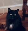 Puddy's eyes (rootcrop54) Tags: puddy mymotherscat female longhair furry newfamilymember macska kedi 猫 kočka kissa γάτα köttur kucing gatto 고양이 kaķis katė katt katzen kot кошка mačka maček kitteh chat ネコ