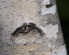 sad (Cosimo Matteini) Tags: cosimomatteini ep5 olympus pen m43 mft mzuiko45mmf18 birch tree sad