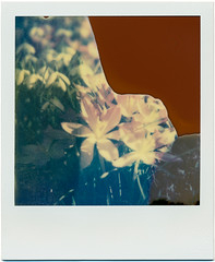 first signs of spring (somekeepsakes) Tags: 2013 px680colorshade sx70 tip analog analogue deutschland europa europe film flower frühling germany impossible instant krokus polaroid sofortbild spring theimpossibleproject