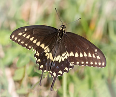 Open Wing Beauty (tresed47) Tags: 2016 201608aug 20160825chestercoutymisc blackswallowtail butterflies canon7d chestercounty content extonpark folder insects pennsylvania peterscamera petersphotos places swallowtail takenby us ngc