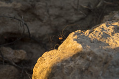 Run run run (Curro Chompis) Tags: araña spider run hide rock piedra roca campo insect legs long patas largas patona daddy crazy orange naranja amarillo yellow shadow sombra longlegs harvestman daddylonglegs