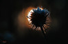 Solar eclipse (Lutz Koch) Tags: karde dipsacusfullonum wildteasel fullersteasel wildekarde dipsacus pflanze plant sun solareclipse sonnenfinsternis sonne raureif hoarfrost stacheln spines