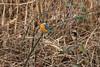 Eisvogel (kleinand) Tags: eisvogel