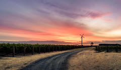 A call to arms, Mr Quixote (ajecaldwell11) Tags: grape sunrise ankh dawn winery vines light korokipo hawkesbay silhouette gimlettgravels frostfan sky windmill wine caldwell newzealand clouds