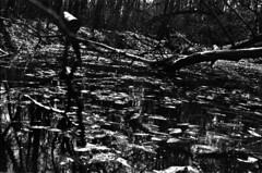 (|Digital|Denial|) Tags: cemetery swamp blackandwhite noir rangefinder minolta himatic7s contrast dark moody gloomy pond water stagnant