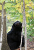 Piano bear! (Seventh day photography.ca) Tags: blackbear bear animal mammal wildanimal wildlife predator ontario canada fall autumn seventhdayphotography chrismacdonald sow female