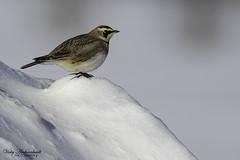 Alouette Hausse-Col - Horned Lark (Vicky A.) Tags: winter alouettehaussecol hornedlark lark alouette bird oiseau