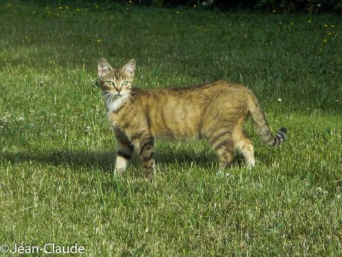 Domestic Cat ♀ European Shorthair