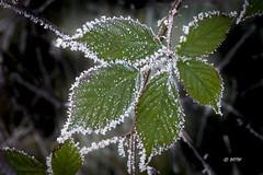 Eiskristalle (hph46) Tags: blatt brombeere pflanze winter eis kristall frost grün panasonic lumixg70 makro