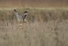 R17_7716 (ronald groenendijk) Tags: cronaldgroenendijk 2017 asioflammeus rgflickrrg animal bird birds birdsofprey groenendijk nature natuur natuurfotografie outdoor owl owls ronaldgroenendijk roofvogels shortearedowl velduil vogel wildlife