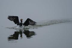 White Rock 100-400 Test (joetografer) Tags: nature texas xt2 birds fuji fujifilm fujinon lake mirrorless morning park xf