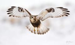 Nice Legs (m_Summers) Tags: utah wild wildlife winter northernutah nature bird buteolagopus hawk birdinflight roughleggedhawk marksummers