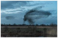 Mumuration (Linz27) Tags: murmuration starlings copyrightlindseybowes nikond750 nikon24120mmf4