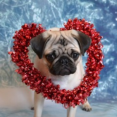 My Boo Valentine! (DaPuglet) Tags: pug pugs dog dogs animal animals pet pets puppy valentine heart costume cute love puppies 5bestdogs