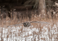 Barred Owl (bakosmike) Tags: barredowl nikon d300 sigma 150600mm contemporary flight inflight raptor owl flying bif