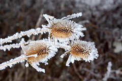 Bur in the frost.  A wild plant in the snow. (radebg) Tags: december dry brier landscape closeup flower frost beauty xmas snow january burdock medical hoar ice freeze botanic thorns thorny winter season herbs hooks field beautiful outdoor brown christmas holiday cold bur covered plant wild macro tree travel nature twig natural weed seed floral sticky rime white