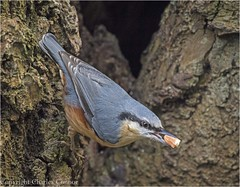 Nuthatch (cconnor124) Tags: coppull england unitedkingdom gb nuthatch tinybirds birdphotography wildlifephotography wildbirds uknature naturephotography canon100400lens canon7dmk11 yarrowvalleycountrypark