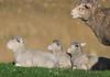 AWN_Willson_DSC_0325_4_D (renrut01) Tags: awn australian wool network kangaroo island sheep dudley peninsula mob coast scenic ewe lambs