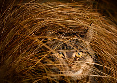 'The Hiding Game' (Jonathan Casey) Tags: cat grass tabby d810 135mm f2 apo zeiss nikon carlzeiss interfit s1