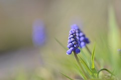 tiny signs of spring (snowshoe hare*) Tags: muscari grapehyacinth flowers botanicalgarden ムスカリ 海の中道海浜公園 dsc1028