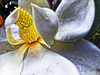 A #Magnolia w #Water Drops - h7577 (SouthernBreeze) Tags: trip travel family friends light usa white plant flower color tree water rain fun photography photo al unitedstates image blossom outdoor alabama fragrant bloom magnolia gn fragrance mbp 2015 southernbreeze cs5 tjb