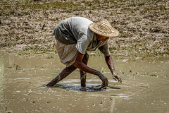 Worker in Rice Field (Travelling Rats) Tags: bangladesh srimongal 365project bestofbangladesh