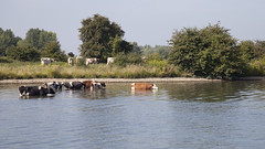 Summertime: Cows in the river Maas - Holland (dirk huijssoon) Tags: river cattle cows riverside maas