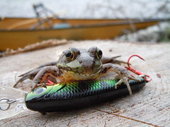 Frog pose (briandjan607) Tags: green bulging eyes posed lake canoe lure stump frog