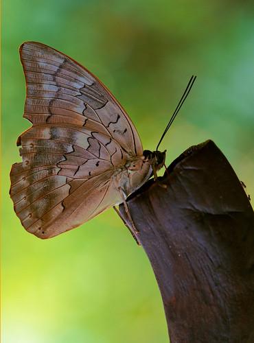 Vlinder XC
