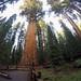 A maior árvore do mundo em volume (1.470 metros cúbicos)