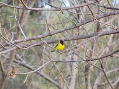 IMG_8648- Cabecita Negra (Sporagra Magellanica) (Claudio Vzquez @ cvphotoart) Tags: argentina birds aves provinciadebuenosaires buenosairesprovince canonsx20is