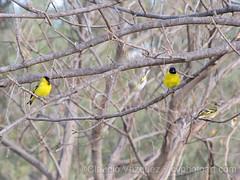 IMG_8647- Cabecita Negra (Sporagra Magellanica) (Claudio Vzquez @ cvphotoart) Tags: argentina birds aves provinciadebuenosaires buenosairesprovince canonsx20is
