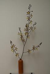 Encyclia Orchid Jungle (or alata?) (cieneguitan) Tags: flower flora lan bunga orkid okid angrek anggerek