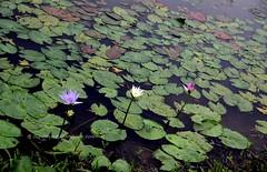 IMG_4207 (singaporeplantslover) Tags: nymphaea   lotus