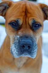 My nose is cold (Bendigoish) Tags: red snow cold eyes mastiff kaia jowls furrow