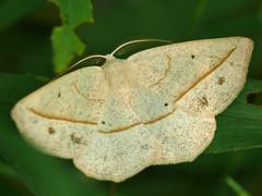 Confused Eusarca - Eusarca confusaria (midimatt) Tags: wisconsin moth wi newburg saukville confusedeusarca eusarcaconfusaria ozaukee riveredgenaturecenter mattdrollinger matthewdrollinger