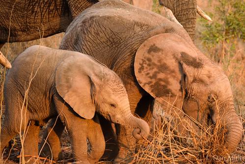 Relative elephants