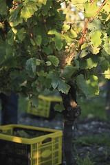 Vendanges 2015 au Vignoble des Hauts de Talmont 10