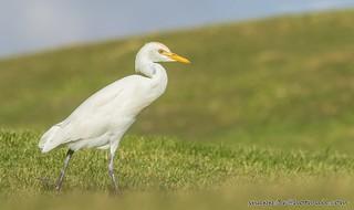 Cattle egret-Bubulcus ibis