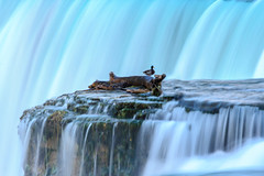 Duck on the falls (Mark Pouley) Tags: longexposure niagarafalls duck