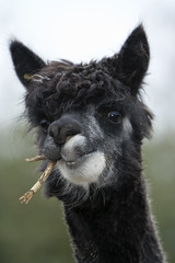Chile - Alpaca © Dreamstime