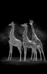 Giraffe to get in line (Markgill21) Tags: white 3 black zoo three que giraffes giraffe lakeland