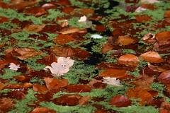 Herbstlaub auf Wasserlinsen (urs_witschi) Tags: zoo laub basel zolli zoobasel wasserlinsen wolfsgehege 20151115