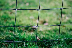 Wol (MJ Klaver) Tags: grass fence grid 50mm raster hek wol fencedfriday canonef50mmf18stm