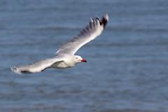 Silver Gull (Teale Britstra) Tags: bird nature animal canon native wildlife seagull gull kitlens australia queensland herveybay t3i silvergull 600d urangan uranganpier 55250mm chroicocephalusnovaehollandiae