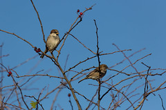 Sparrows (Pittypomm) Tags: blue autumn sky house tree male female leaf berries sparrow sparrows twigs hawthorn domesticus passer