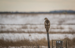 On Guard . . . (Dr. Farnsworth) Tags: food fall field mi lunch sitting flat hawk westlake muskegon snowyowl onguard november2015