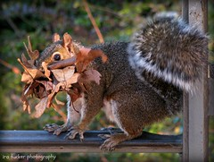 I put a basketball hoop in the trees, to help the squirrels and give them a nice net.... (itucker, thanks for 1.9+ million views) Tags: squirrel dukegardens