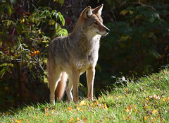 Coyote Omega (19) (DomyNature) Tags: parcomega coyote